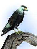 长腿兀鹰剪报包括路径被栖息的雕木&# 库存例证