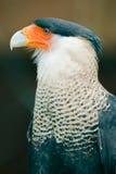 长腿兀鹰南部拉特银币的plancus 免版税库存图片