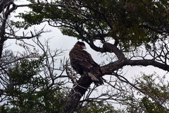 长腿兀鹰在托里斯del Pain公园 免版税库存图片