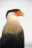 长腿兀鹰有顶饰异乎寻常的猎鹰 免版税库存照片