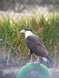 长腿兀鹰鸟在动物园里 免版税图库摄影