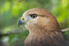 长腿的肉食鵟鸟rufinus画象  免版税图库摄影