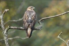 长腿的肉食,鵟鸟rufinus 免版税库存照片
