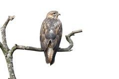 长腿的肉食,鵟鸟rufinus 库存照片