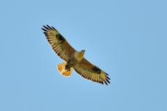 长腿的肉食(鵟鸟rufinus) 库存图片