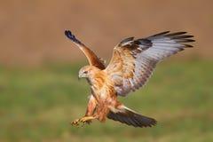 长腿的肉食(鵟鸟rufinus) 库存照片