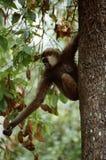 长臂猿在婆罗洲 库存图片