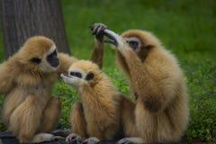 长臂猿家庭 库存照片