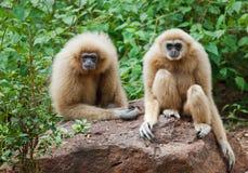 长臂猿家神,坐在自然 免版税库存照片