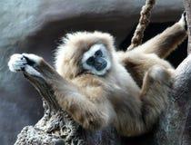 长臂猿家神 库存图片