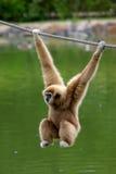 长臂猿猴子 免版税库存图片