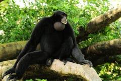 长臂猿猴子siamang 库存图片
