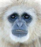 长臂猿递了白色 免版税库存图片