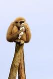 长臂猿递了白色 库存照片