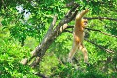 长臂猿长臂猿 库存图片