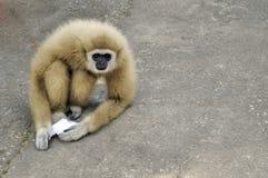 长臂猿:长臂猿家神 免版税库存图片