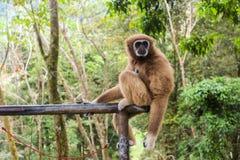 长臂猿猴子 免版税库存照片