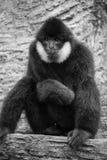 黑长臂猿画象  免版税库存照片