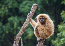 长臂猿 免版税库存图片