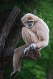 长臂猿 库存图片