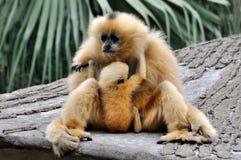 长臂猿hoolock孩子母亲 库存图片