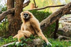 长臂猿pileatus 库存照片