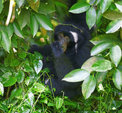 长臂猿siamang 图库摄影