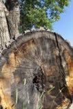 长被削的树 库存照片