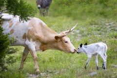 长角牛母牛和小牛 免版税库存照片