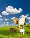 长角牛母牛和小牛 库存图片