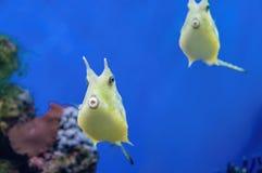 长角牛海牛异乎寻常的珊瑚鱼 在蓝色背景的黄色热带鱼 图库摄影