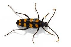 长角牛甲虫在白色背景的Leptura quadrifasciata 免版税库存照片