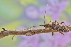 长角牛甲虫有花卉春天背景 免版税库存照片