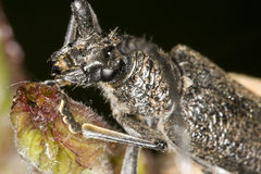 长角牛甲虫 免版税库存照片