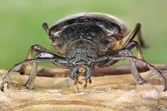 长角牛甲虫 图库摄影