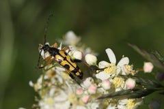 长角牛甲虫 库存图片