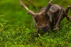 长角牛甲虫& x28; Paraleprodera inidiosa& x29; 甲虫 免版税库存照片