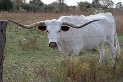 长角牛 库存照片