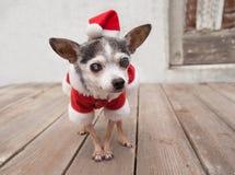 年长资深奇瓦瓦狗狗戴圣诞老人衣服和帽子 库存照片