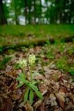 长辈开花的兰花,根歧sambucina,开花的欧洲地球野生兰花在自然栖所 美丽的黄色bloo 免版税图库摄影