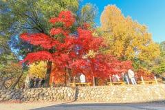 长野,日本- 2017年11月12日:美丽的秋天颜色树 图库摄影