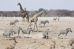 长颈鹿、斑马和跳羚会集在一个水坑在Etos 库存图片