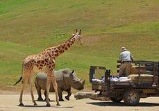 长颈鹿、犀牛和教练员 库存照片