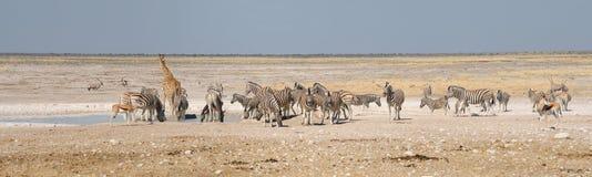 长颈鹿、跳羚、羚羊属和斑马 库存图片