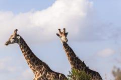 长颈鹿两野生生物 图库摄影