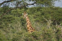 长颈鹿乌干达人 库存图片