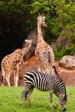 长颈鹿二斑马 免版税库存照片