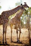 长颈鹿二 免版税图库摄影