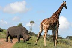 长颈鹿交往犀牛 免版税库存图片