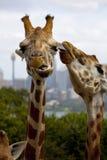 长颈鹿亲吻 免版税图库摄影